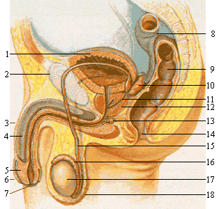 Male_reproductive_system_lateral_nolabel