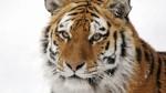 sibirisk_tiger02-992x558